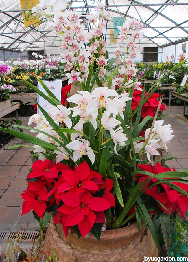 a large pot filled with red poinsettias & white cymbidium orchids sits in an orchid greenhouse