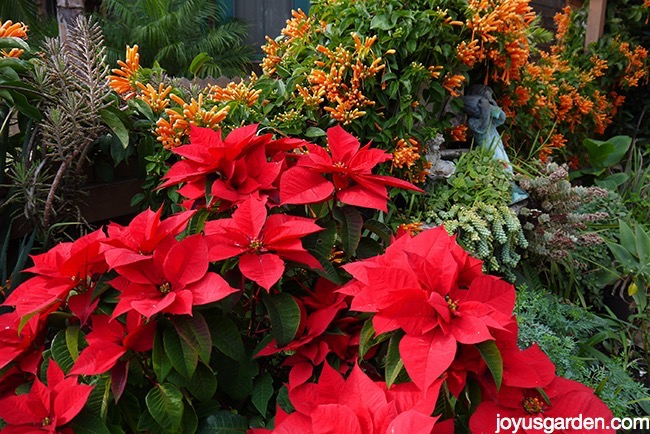 a large red poinsettia plant grows outdoors with succulents & a vine with orange flowers
