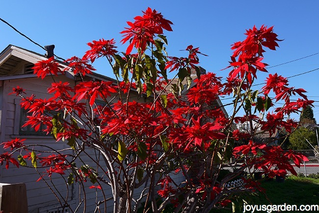 an 8' rangy poinsettia growing outdoors with lots of red flowers & very little foliage