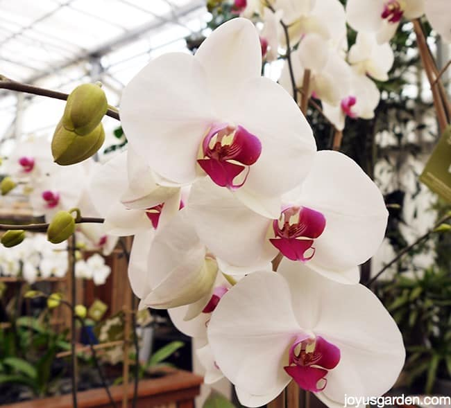 close up of white phalaenopsis orchids with deep pink centers