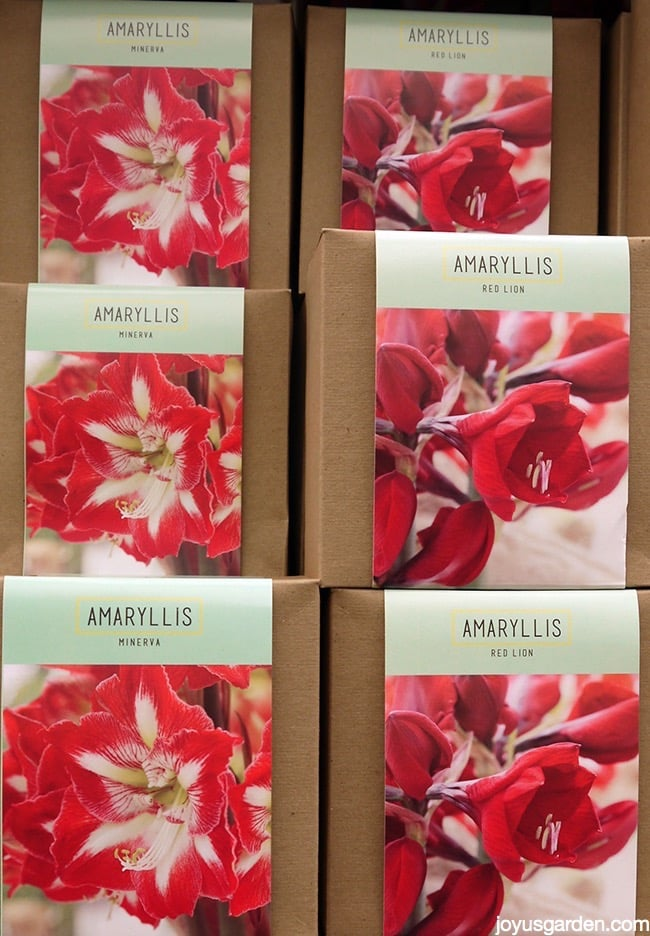 boxes of amaryllis bulbs with red/white & red flowers on the front