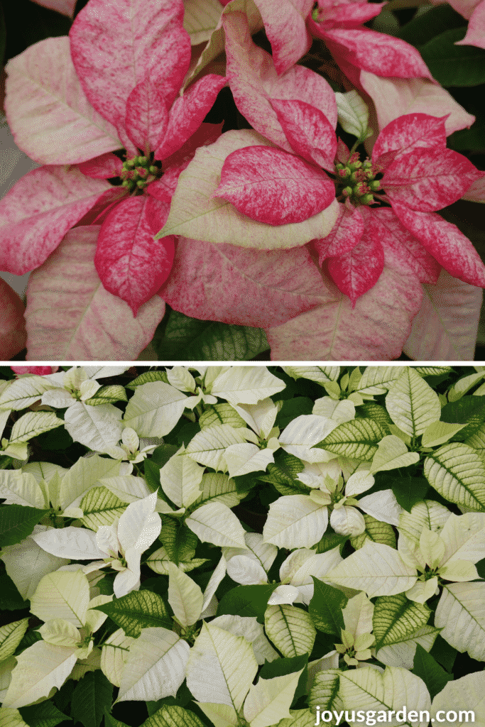 a collage with 2 photos poinsettia picasso & solid white poinsettia plants