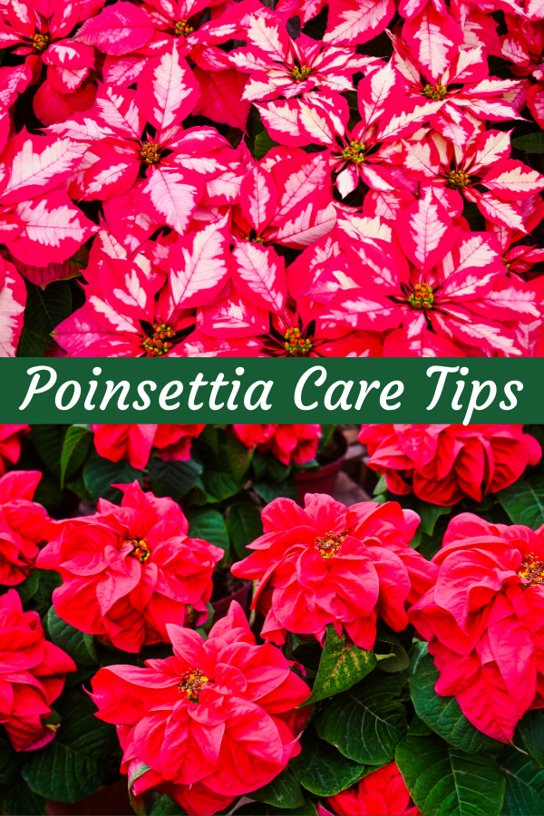 a collage with red & white poinsettias & solid red poinsettias the text reads poinsettia care tips