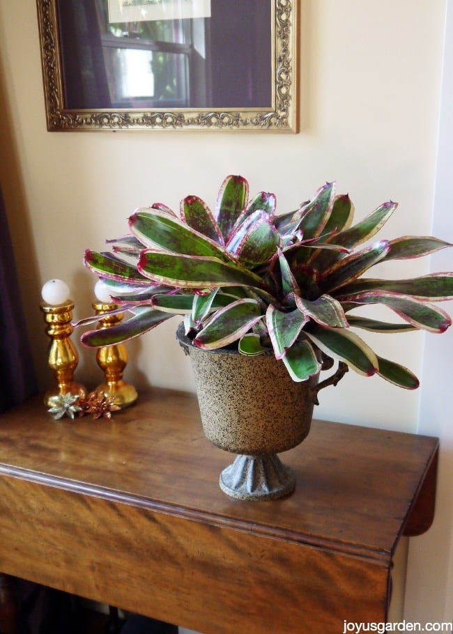 a large, colorful neoregelia bromeliad in a metal urn planter sits on a table next to a window