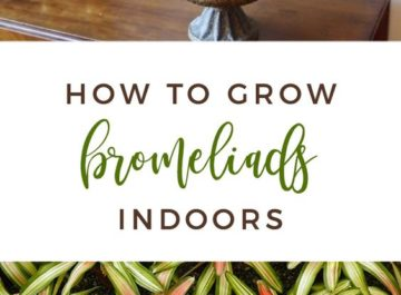 Bromeliads are wonderful houseplants. They're colorful & flowering. Here's what you need to know about bromeliad care to grow them indoors.