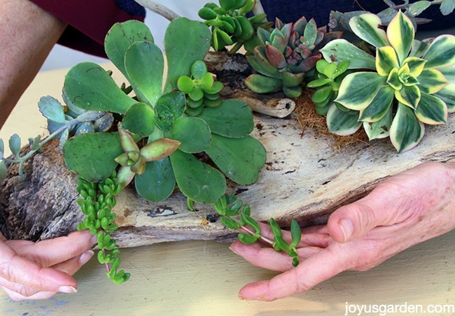 Arranging succulents in driftwood