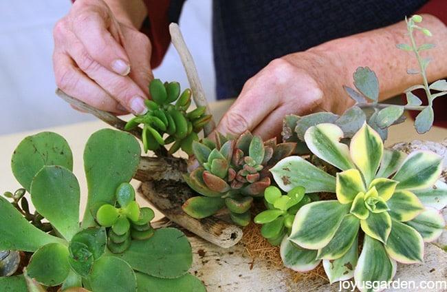 Succulent driftwood arrangements