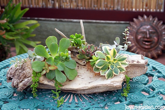3 Ways To Attach Succulents Driftwood Get Them Grow