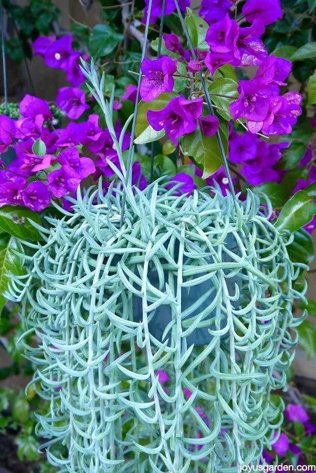 fishhooks senecio  this trailing succulent is so easy to