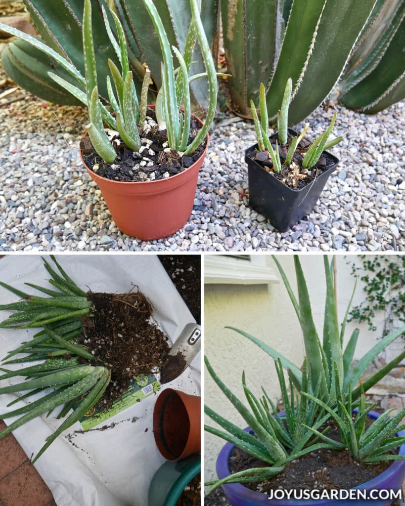 a collage consisting of three photos of aloe vera plants and their babies