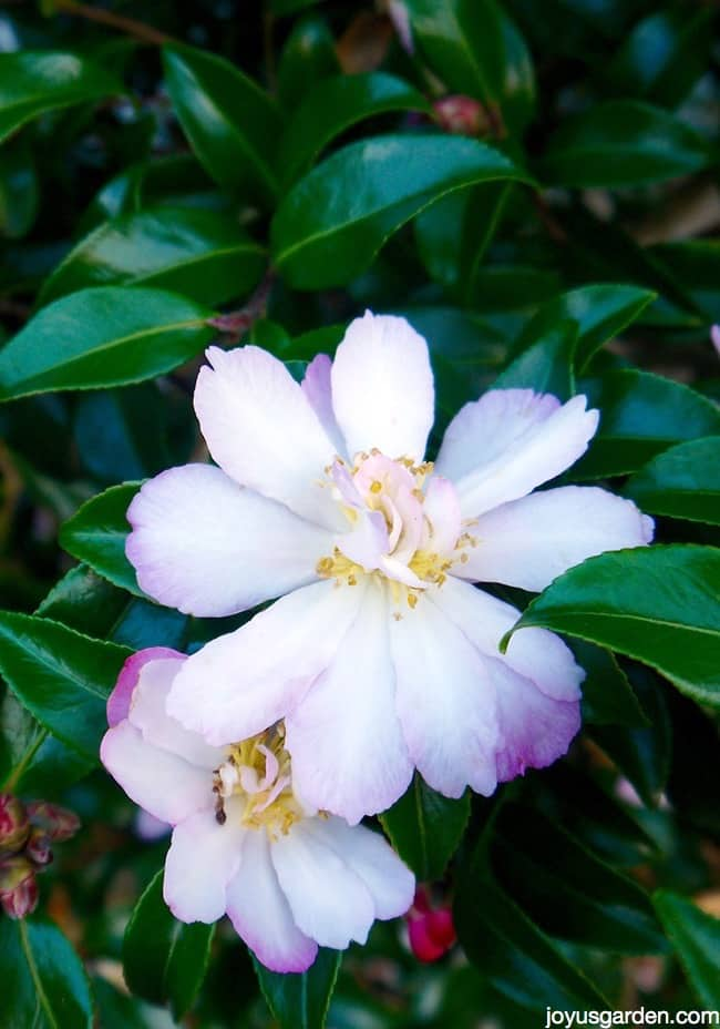 close up of beautiful camellia flowers this is camellia sasanqua apple blossom