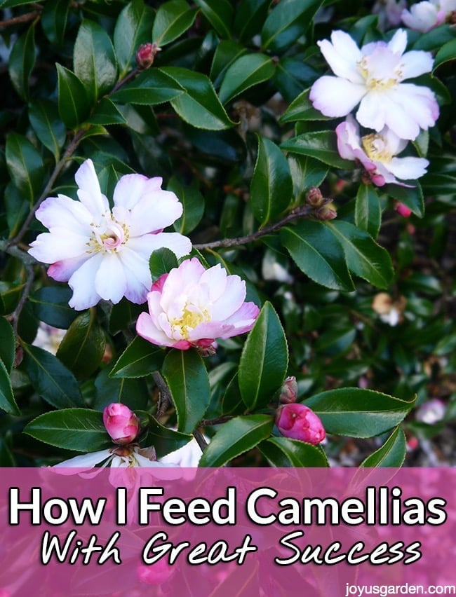 close up of white camellias tinged with light pink the text reads How I Feed Camellias With Great Success.