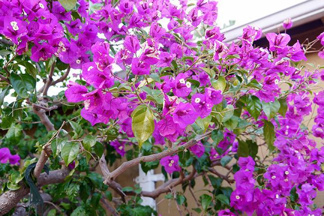 pruning training bougainvillea