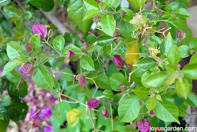 close up of bougainvillea branches with some buds & a few yellow leaves