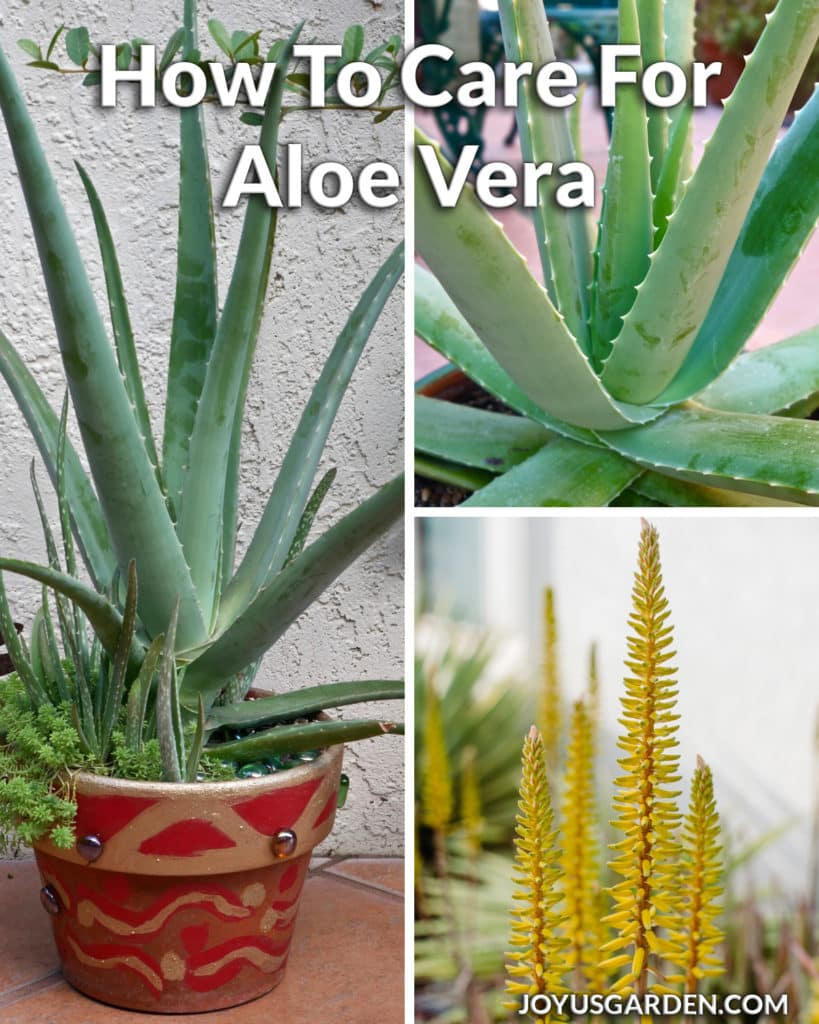a collage of 2 aloe vera plants & 1 of yellow aloe vera flowers the text reads how to care for aloe vera
