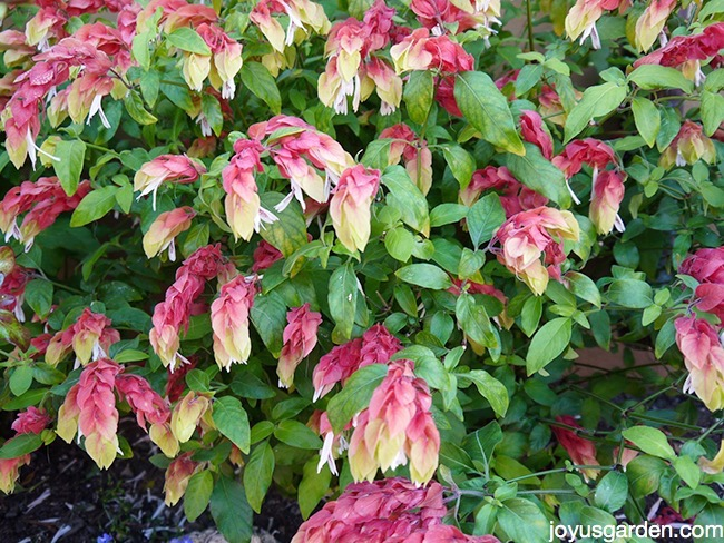 How To Prune Shrimp Plant