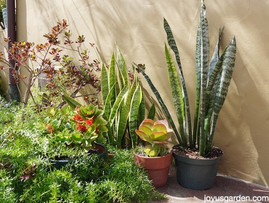 Succulent plants asexual propagation