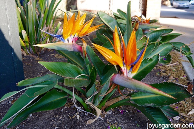Bird of paradise plant care bird of paradise plant care mightylinksfo