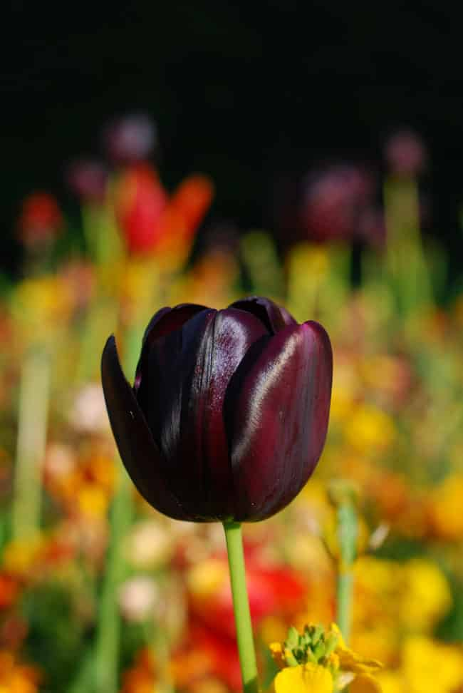 Add a Touch of Intrigue to Your Garden with Black Flowers