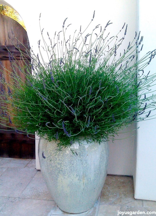 Gorgeous potted lavender plant