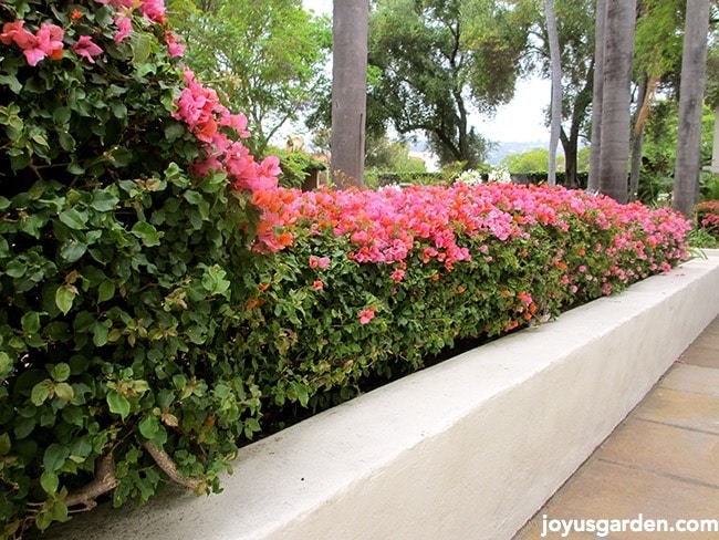 Beautifully trimmed Bougainvillea hedge