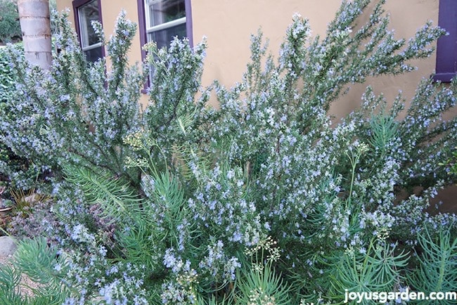 What Everyone Should Know About Growing Rosemary