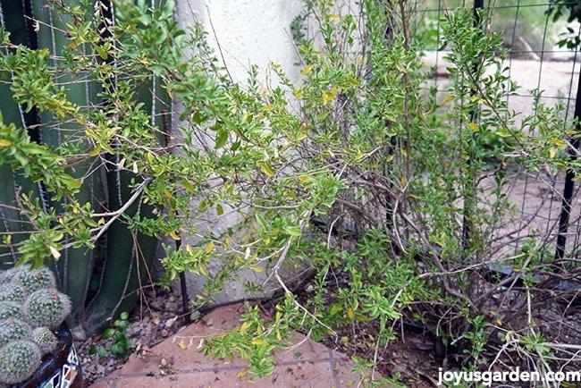 pruning Salvia Greggii