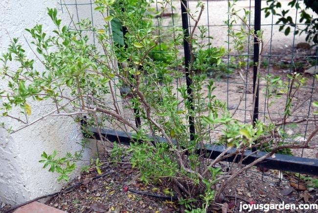 Pruning To Rejuvenate My Salvia Greggii