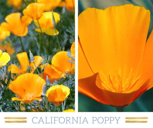 Stunning Desert Plants Succulents: california-poppy