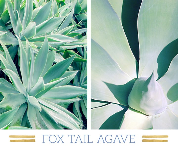Stunning Desert Plants Succulents: fox-tail-agave