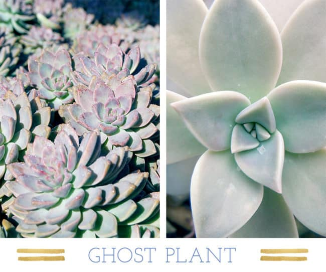 Stunning Desert Plants Succulents: ghost-plant