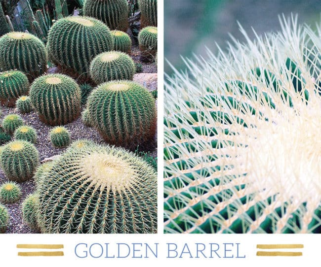 Stunning Desert Plants Succulents: golden-barrel