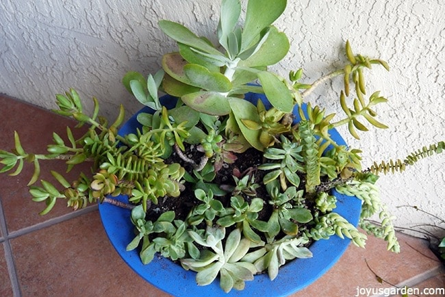 planting succulent plants cuttings