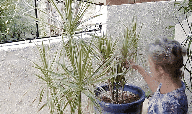 dracaena marginata pruning