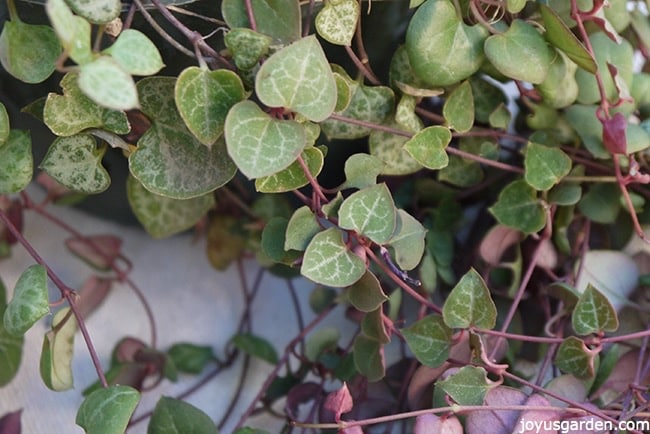 How To Grow String Of Hearts Or Rosary Vine A Sweet Succulent Like