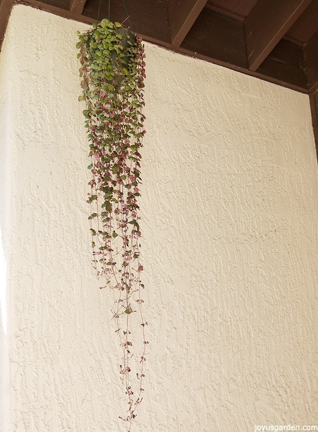 a string of hearts vine with 6' trails hangs in front of a white wall