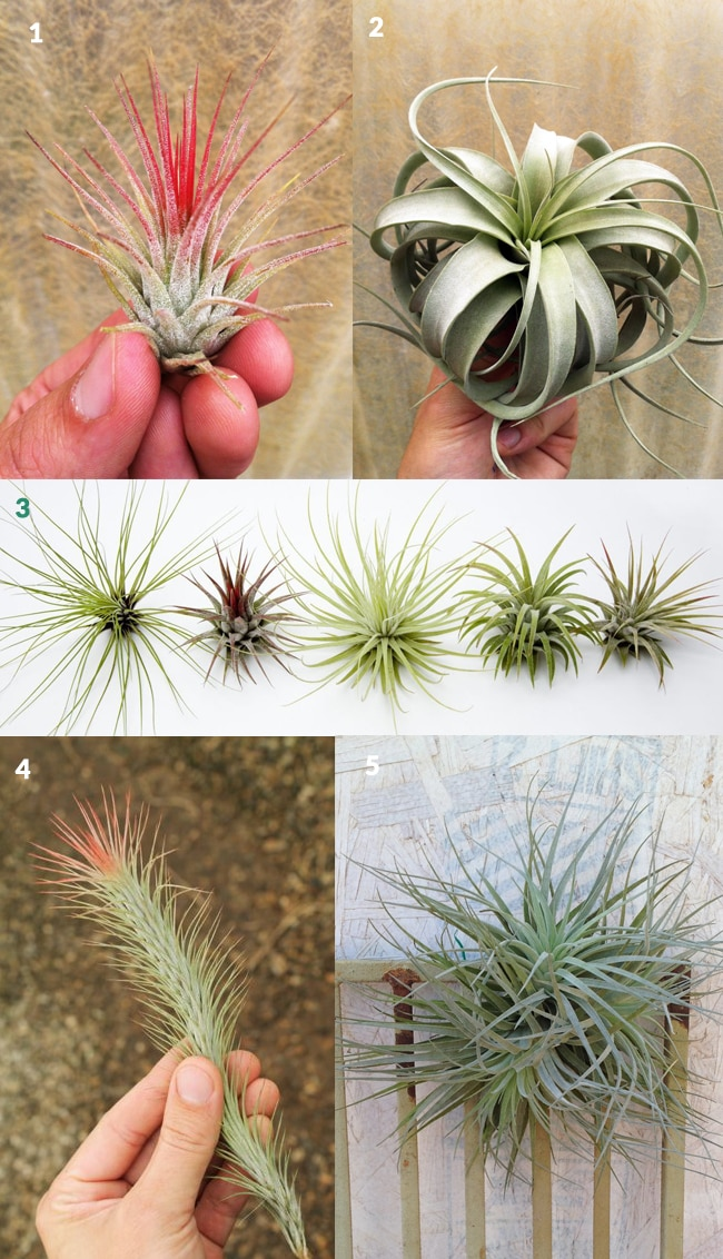 Gifts For Tillandsia aka Air Plant Lovers