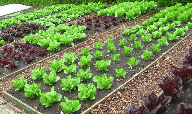 Tips on organic vegetable gardening for Vegetable plot ideas
