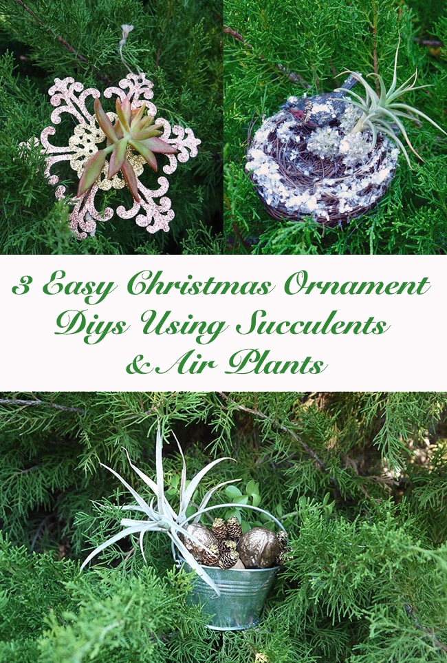 3 Easy Christmas Ornament DIYs Using Succulents and Air Plants