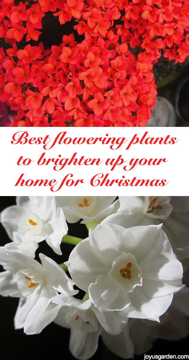 Best Flowering Plants For Christmas