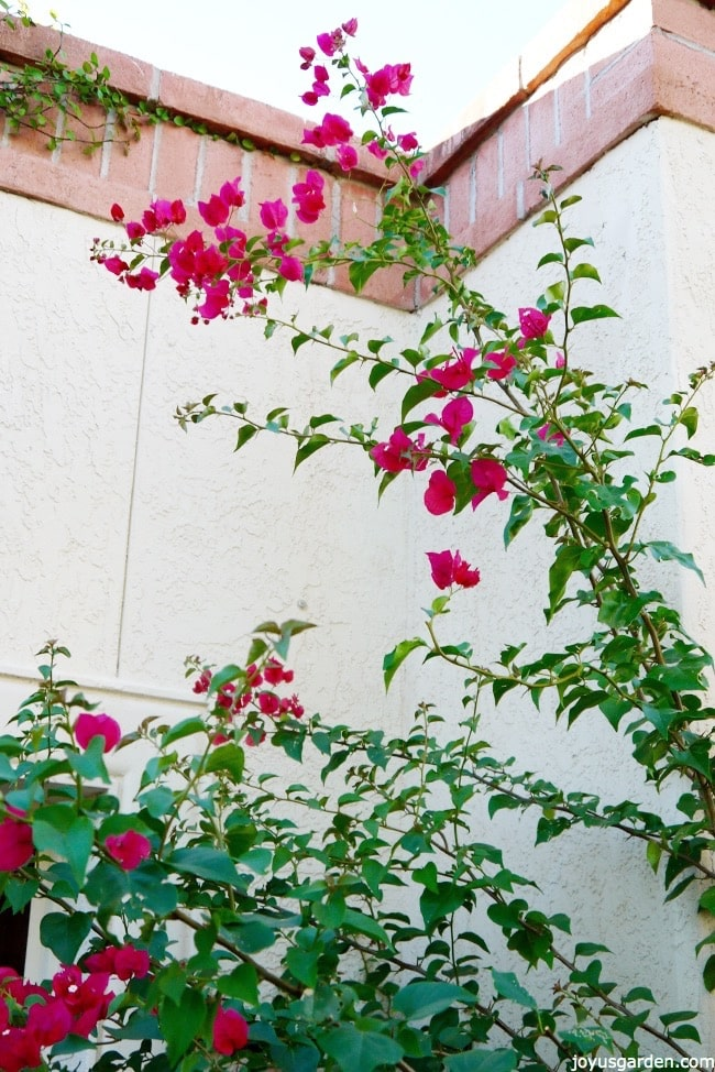 Getting Bougainvillea Bloom