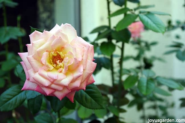 pruning rejuvenating rose