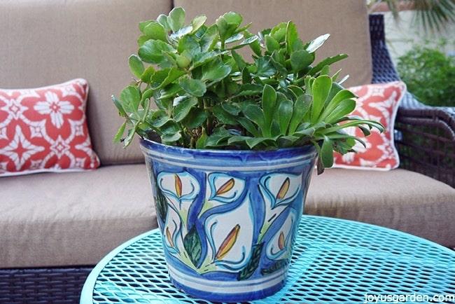 Planting An Unlikely Pair Of Succulents : Kalanchoe Blossfeldiana & Aeonium Arboreum