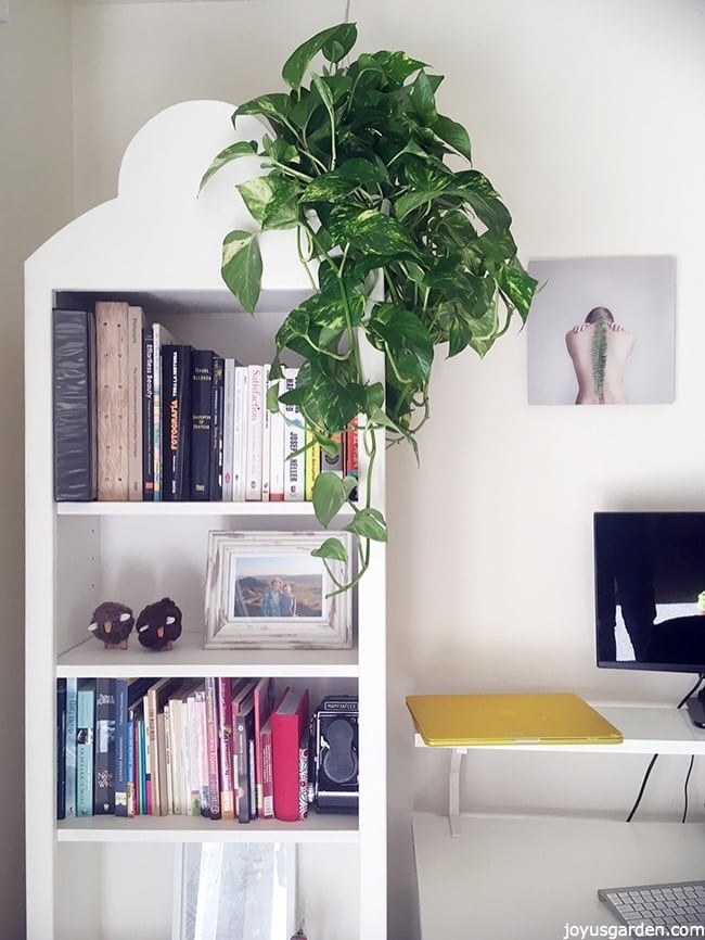 a pothos with long trails grows on top of a white bookshelf the text reads New To Gardening? 11 Reasons Why Pothos Is The Houseplant For You