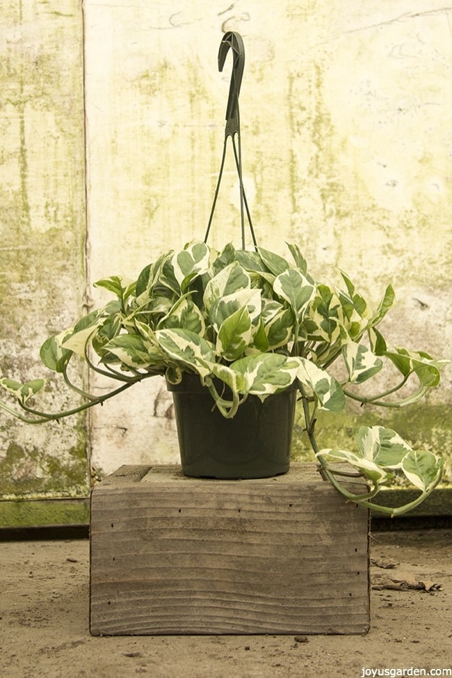 a white & green variegated pothos sits on a wooden block this is pothos glacier
