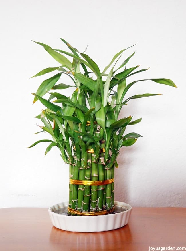An Arrangement Of Lucky Bamboo Tied With Gold Foil Ties Grows In A Low White Dish