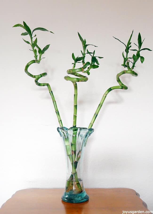 A Clear Gl Vase Holds 3 Twisted Stalks Of Lucky Bamboo