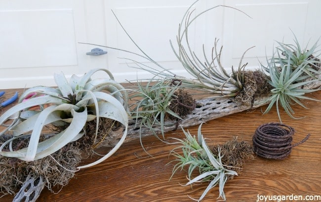 Creating An Air Plant Display On Cholla Wood