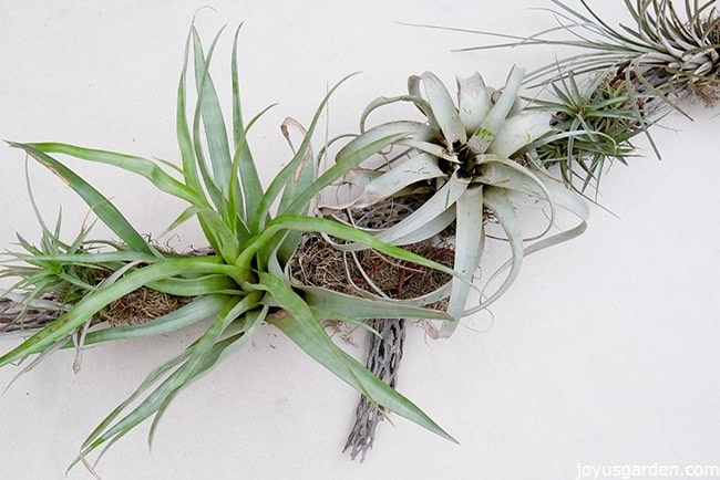many different air plants displayed on cholla wood