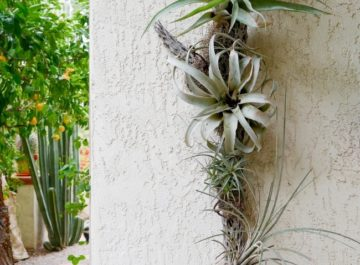 air plant display cholla wood